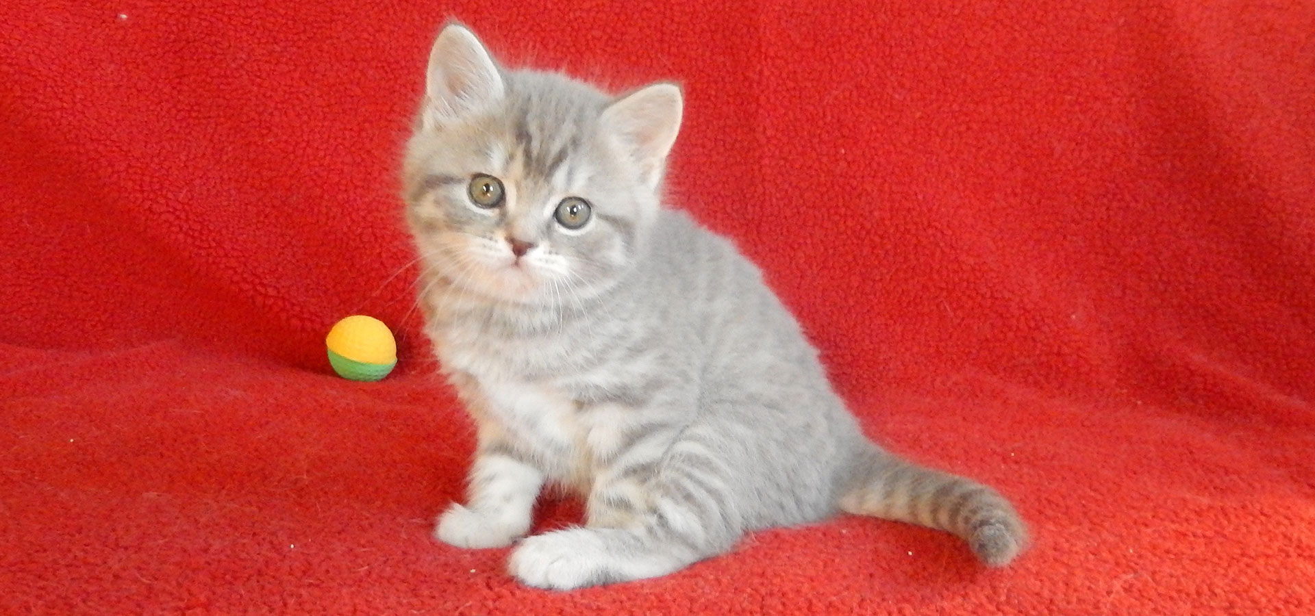 Lilac silver tabby